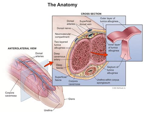 anatomy & physiology penis picture 15