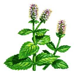 does spearmint oil whiten h picture 15
