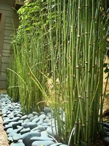 horsetail bamboo picture 2