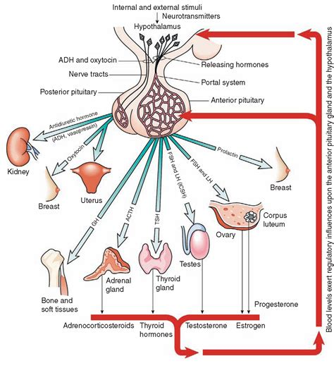testosterone in menstrual cycle picture 11