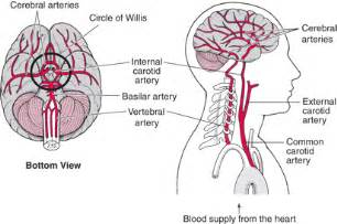 blood flow areas, human brain picture 11