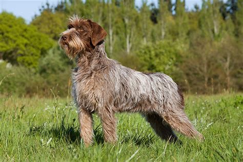 wire hair pointing griffon picture 15