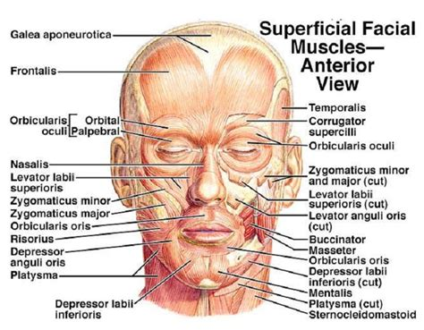 face muscle picture 14
