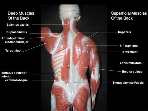 deep back muscle mustavius picture 9