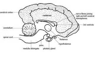 cerebral blood flow motor cortex picture 10