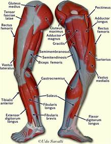 anatomy muscle model picture 14