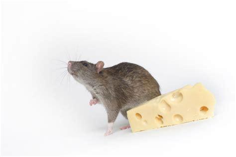 black rats diet picture 1