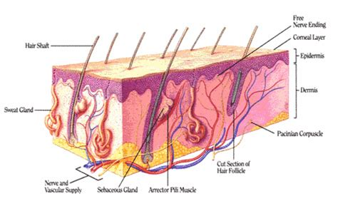 diagram of how oil penetrates skin picture 2