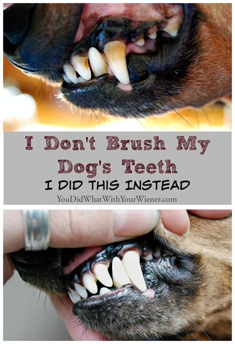 dog teeth growing in with another tooth picture 5