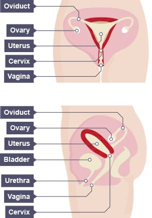 diagram of small penis ina vagina picture 4