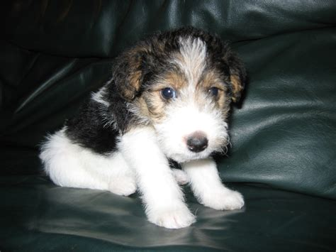 wire hair fox terriers picture 10