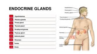 endocrine gland picture 3