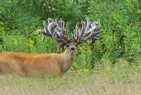 what age can you start taking deer antler picture 6