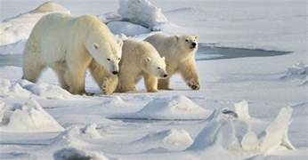 polar bear h picture 1