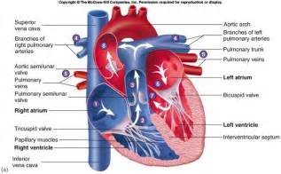 anatomy and physiology of blood circulation picture 10