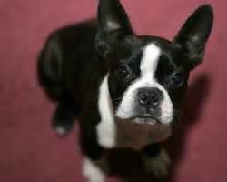 boston terrier thyroid disease picture 1