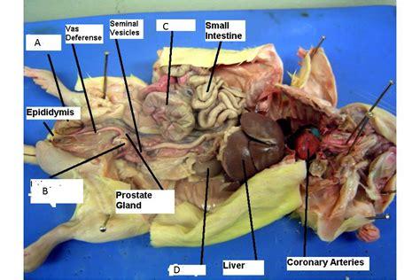 anatomy rat liver picture 9