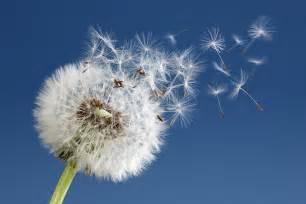 dandelion picture 9