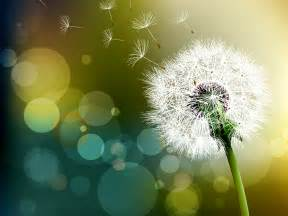 dandelion flower pictures picture 6