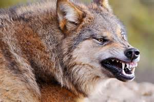 wolf teeth picture 2