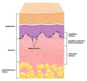 dermal layer of skin picture 1
