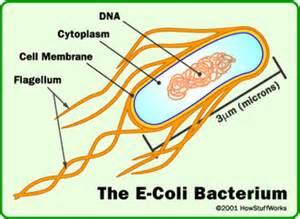 Bacterial e coli picture 3