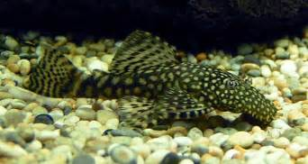 breeding peppermint catfish picture 6