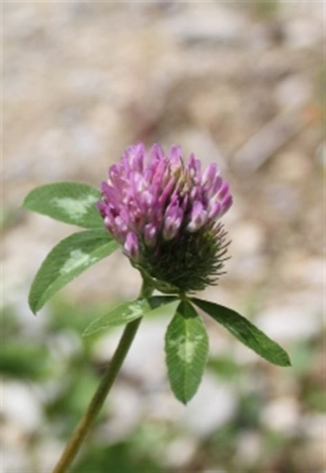 and get pregnant after tubal ligation naturally red clover success picture 4