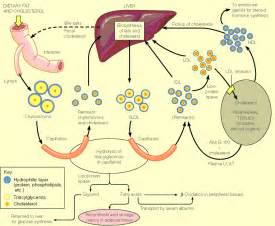 Alcohol and cholesterol production picture 3