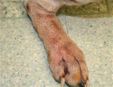 dog skin diseases picture 2