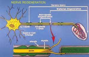 nerve regeneration and keratins picture 3