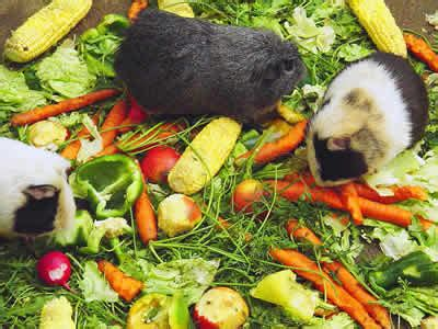 cavy diet picture 7