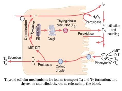 iodine and thyroid gland picture 13