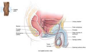 female urethra picture 6