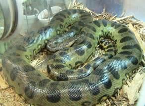 anaconda diet picture 13