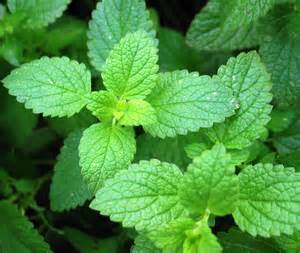 peppermint picture 7