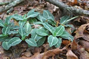 rattlesnake plantain picture 1