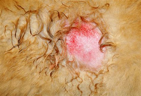 canine skin disorders-black spots picture 2