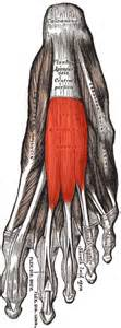 muscle antagonist list picture 7
