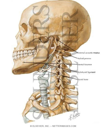 maxillary h picture 7