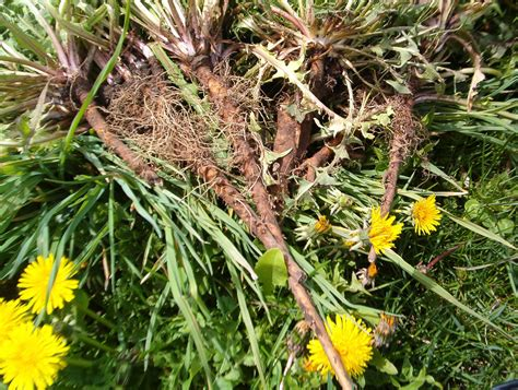 cancer & dandelion root picture 1