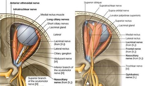 function of the ciliary muscle f picture 7