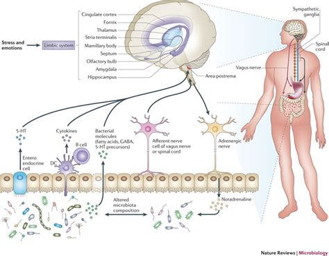 serotonin receptors in the intestines and liver picture 1