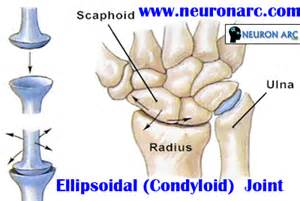 ellipsoid joint picture 13