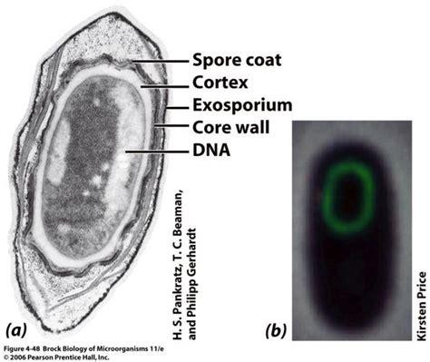 bacterial spores free spore forespore cortex spore coat picture 3