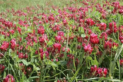 red clover breast cancer picture 1