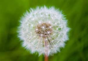 a dandelion picture 19