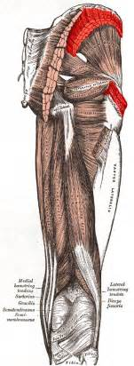 gluteus medius muscle picture 6