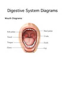 digestion the mouth picture 15
