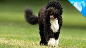 portuguese water dogs health picture 17